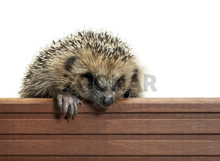 hedgehog and wooden panel