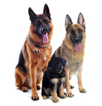 german shepherds and puppy