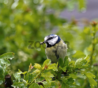 Small garden bird adult Blue Tit with Food for young in Rain