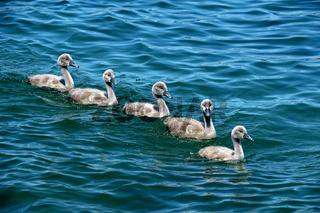 Fünf Küken des Höckerschwans
