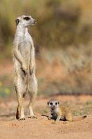 Meerkat with baby