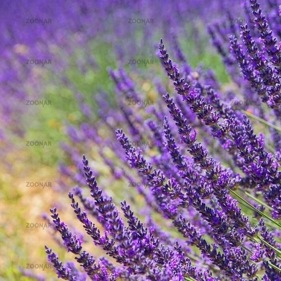Lavendel - lavender 78