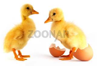 Two yellow small duck
