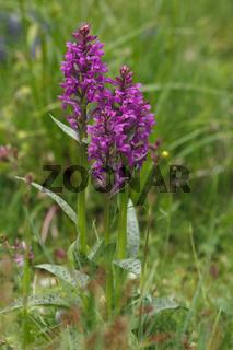 Orchidee Breitblättrige Knabenkraut - Dactylorhiza majalis
