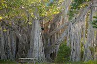 Riesiger Baum Ficus  im Hugh Taylor Birch State Park in Fort Lauderdale