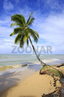 Leaning palm tree at Las Terrenas beach, Samana peninsula