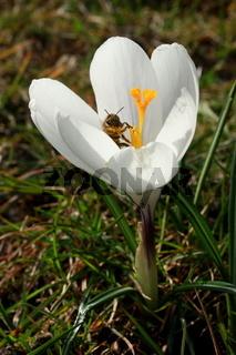 Krokus, weiß mit Biene