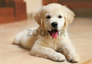 Golden Labrador retriever puppy