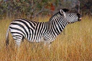 Männliches Zebra im Bwabwata-Nationalpark