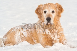 Lovely golden retriever playing in the snow