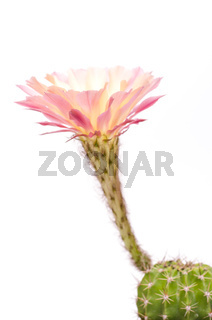 Grosse Kaktusblüte