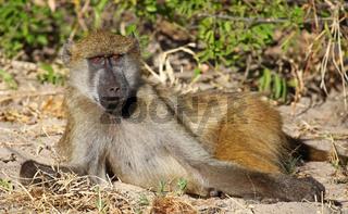 Liegender Steppenpavian, Gelber Pavian, Chobe, Botswana; papio cynocephalus; savanna baboon, Chobe, Botsuana