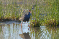 Purpurhuhn,Porphyrio porphyrio, Purple Moorhen