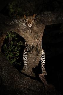 Leopard bei Nacht, nachts, in Astgabel