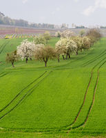 Old apple orchard by vines in Castell Germany