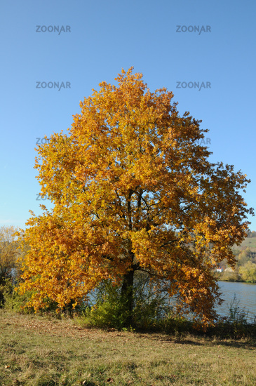 Foto Quercus Robur Stieleiche German Oak Herbst Bild 2935881