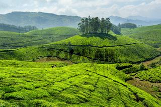 Tea plantations. Munnar