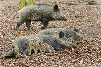 Wildschwein Bache
