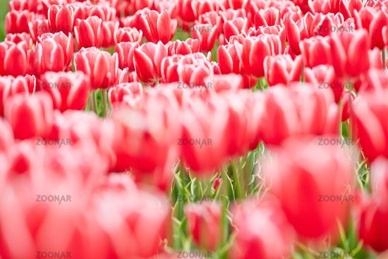Rote Tulpen im Garten im Frühling