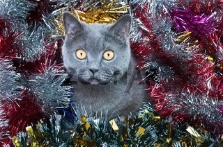 The British cat Christmas