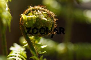 Entferntfiedriger Dornfarn -  Dryopteris remota