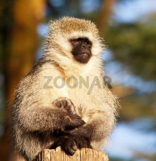 Monkey Vervet