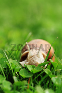 Crawler snail. Creeper snail after rain on the grass. Helix pomatia.