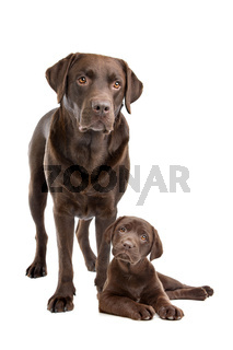 Chocolate Labrador adult and puppy