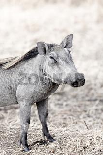 Wild warthog