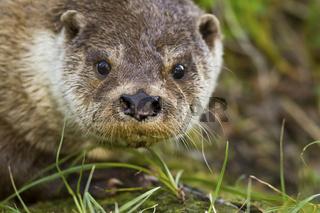 Fischotter / Otter/ Lutra lutra