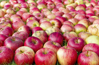 Red sweet apples in the grass