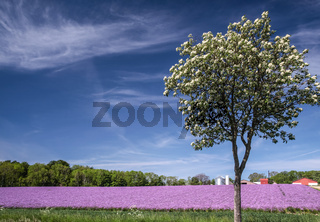 Blossoming onion field with spring tree