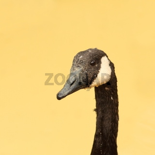 portrait of an angry goose over blurred background