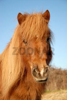 shetand pony