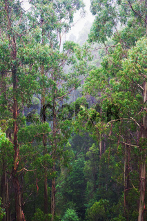 famous australian Rainforest