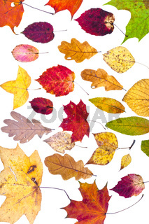 many deciduous autumn leaves
