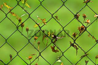 Zaun mit Pflanzenresten