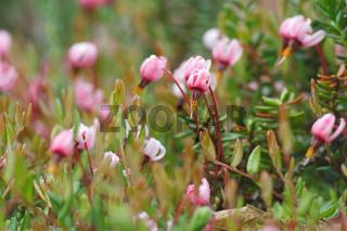 Blüten der Gewoehnlichen Moosbeere - Vaccinium oxycoccos