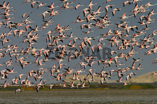 Flamingos, Phoenicopteros ruber