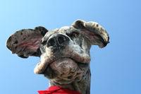 Portrait einer Deutschen Dogge von unten