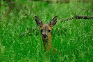 Rehwild, Roe-deer