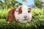 kleines Meerschweinchen im Gras sitzend