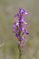 Robustes Knabenkraut, Orchis robusta, Orchis palustris ssp. robusta