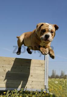 jumping bulldog