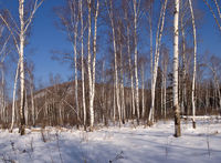 Birch wood in the winter