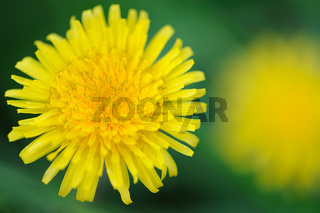 Yellow dandelion