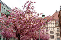 Chemnitz Hall with flowering ornamental cherry