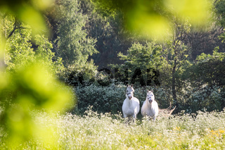 White horses in flower meadow