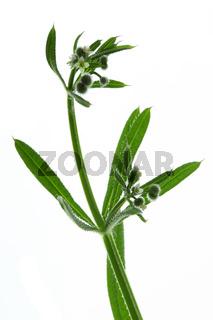 Kletten-Labkraut, Galium aparine, Cleavers, Stickywilly