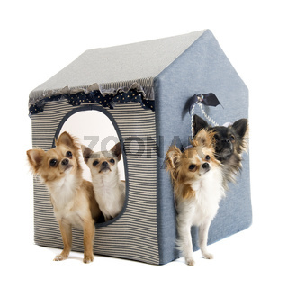 chihuahuas in house dog